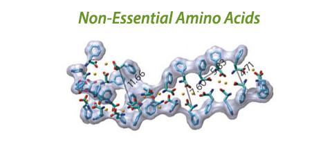 Non-Essential Amino Acids